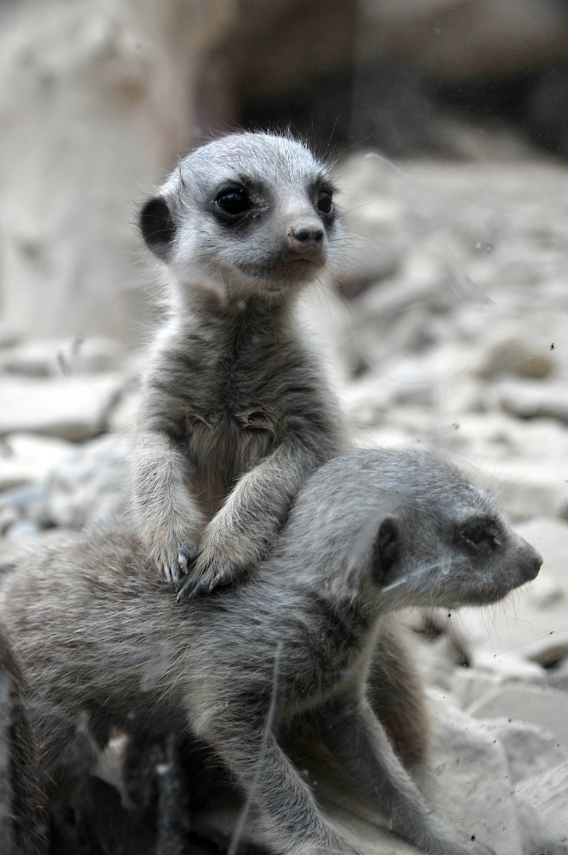 cute picture of two meerkats playing